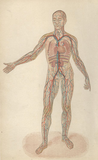 The organs of circulation