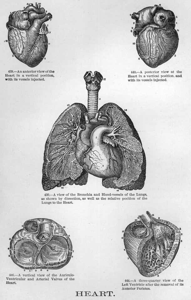 The human heart and it's parts from several angles