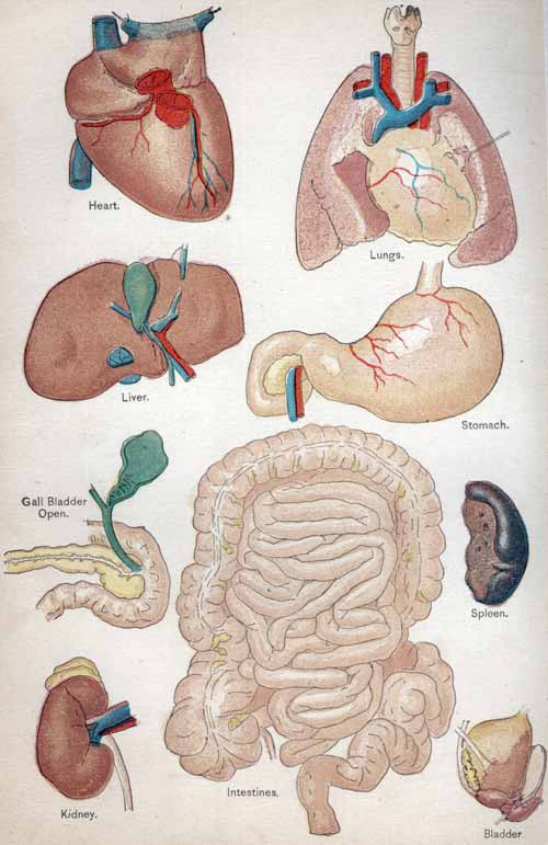 Human organs and what they look like