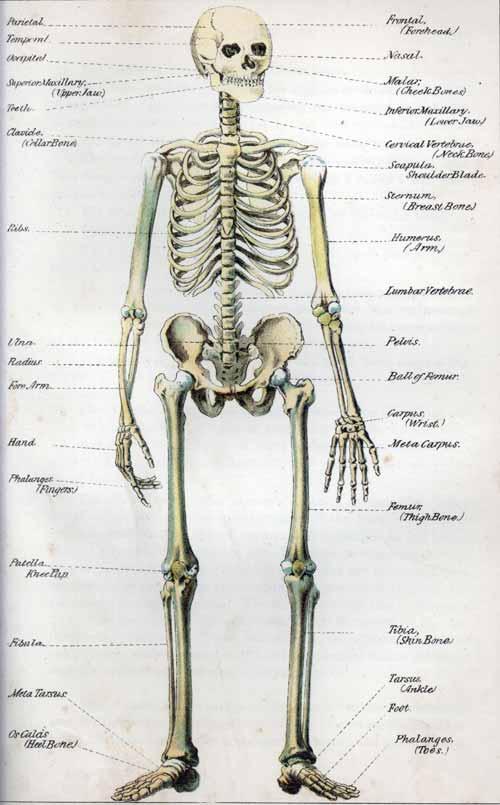 human skeleton drawing. human skeleton ribs