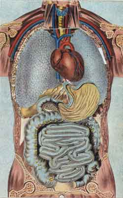 Heart, stomach, intestines, major veins and arteries of the human body