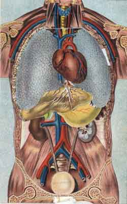 Kidneys and bladder of the human body
