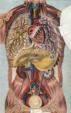 Cross section of heart and lungs of the human body