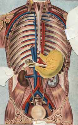 More main arteries and veins of the human body
